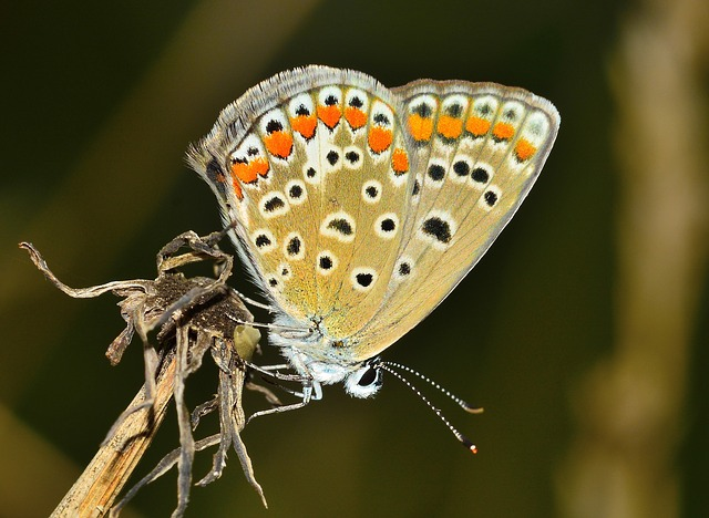Common Blue Butterfly, Butterfly, Insect, Lepidoptera