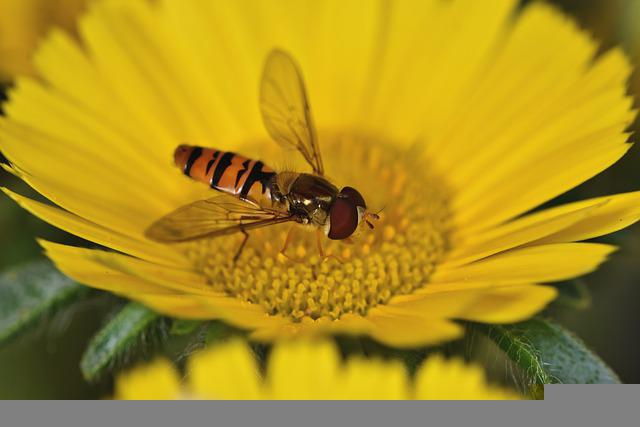 Hover Fly, Fly, Compound, Insect, Blossom, Bloom