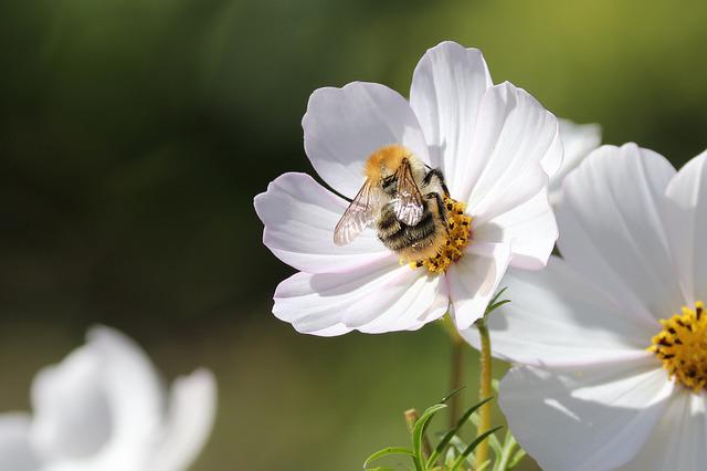 Cosmea, Bee, Insect, Collect, Flower, Cosmos Bipinnatu