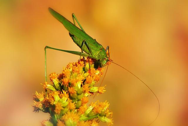 Długoskrzydlak Sierposz, Insect, Tettigonia Viridissima