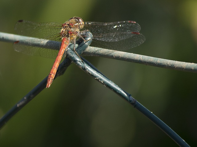 Darter Sympetrum, Dragonfly, Animal, Insect