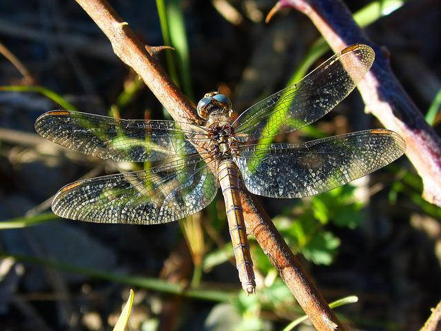 Dragonfly, Wings, Brightness, Insect, Libellulidae