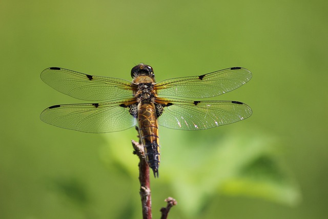 Dragonfly, Insect, Finnish