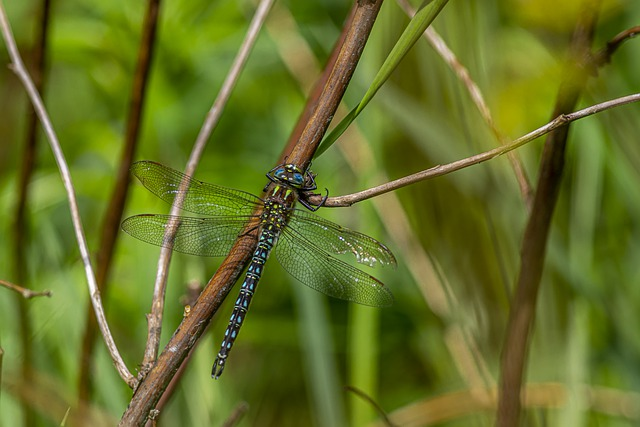 Southern Hawker, Aeshna Cyanea, Dragonfly, Insect