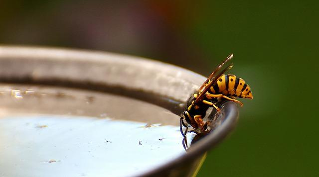 Wasp, Insect, Drinking Water, Watering Hole