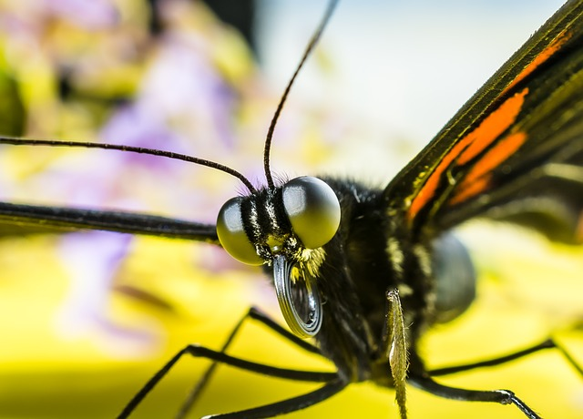 Butterfly, Insect, Eyes, Probe, Proboscis, Rolled Up