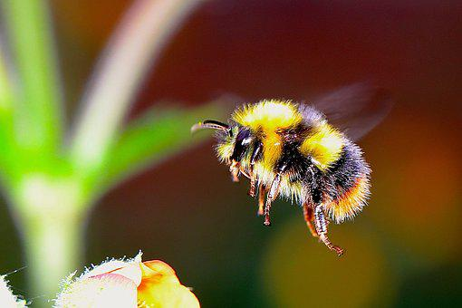 Bumble Bee, Insect, F, Bumble, Bee, Bumblebee