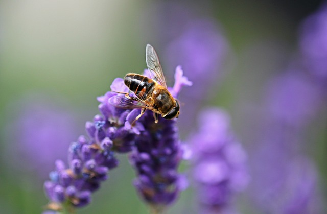 Lavender, Hoverfly, Insect, Flight Insect