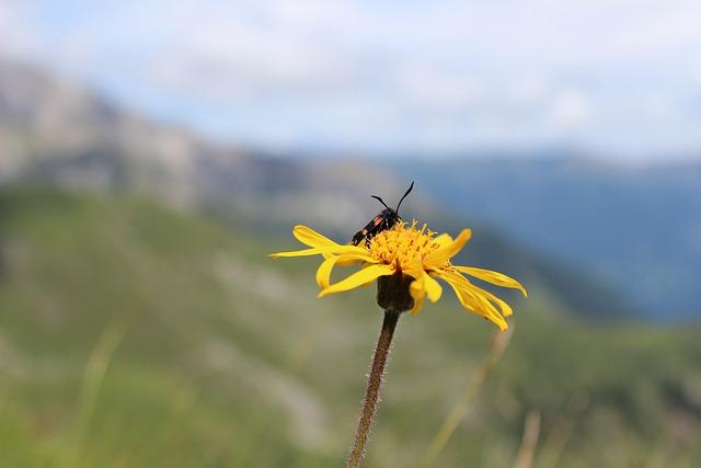 Six Moth, Burnet, Arnica, Flower, Insect, Blossom