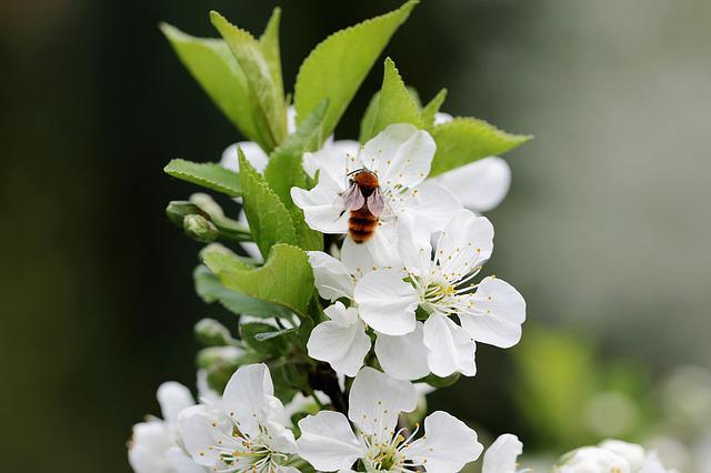 Cherry, Flowers, Blooming, Bee, Insect, Pollination