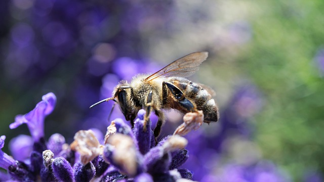 Bee, Honey Bee, Lavender, Flowers, Purple, Insect