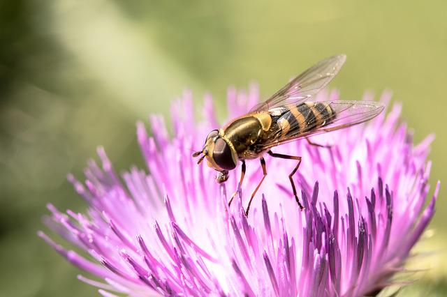 Large Campestris, Syrphus Ribesii, Insect, Fly