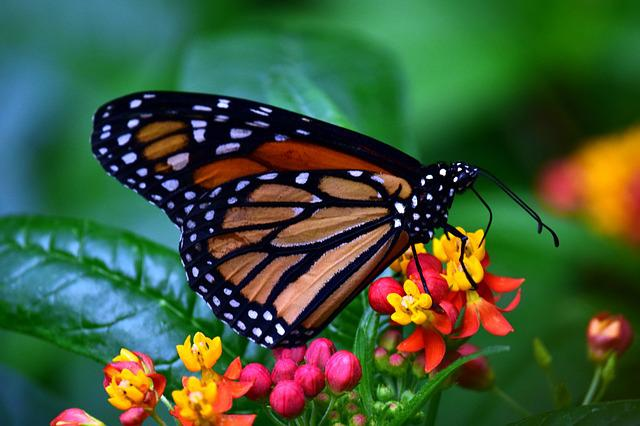 Monarch, Butterflies, Wing, Food, Insect, Butterfly