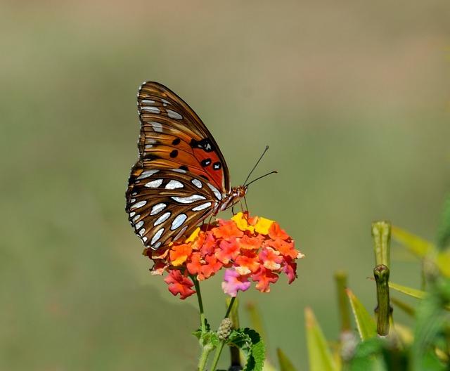 Gulf Fritillary, Butterfly, Insect, Nature, Fritillary
