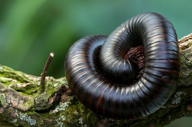 Giant Centipedes, Insect, Terrarium