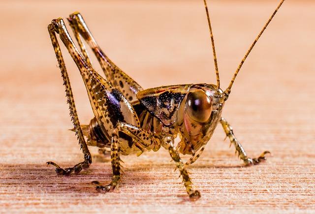 Grasshopper, Viridissima, Insect, Close Up