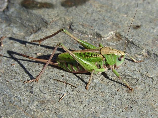 Cricket, Pyrenee Catalunya, Insect, Green