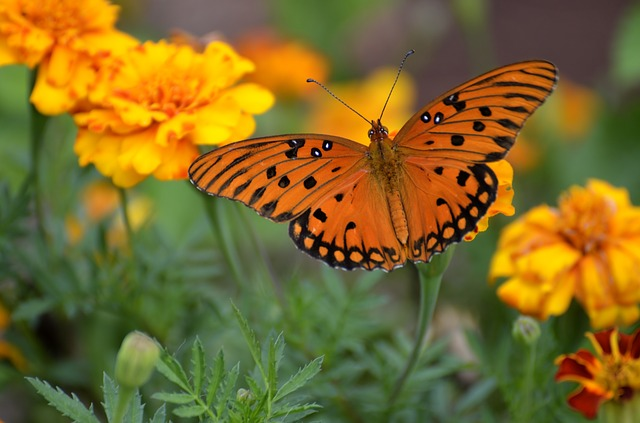 Gulf Fritillary Butterfly, Insect, Butterfly