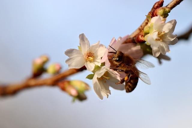Bee, Winter Cherry, Snow Cherry, Honey Bee, Insect