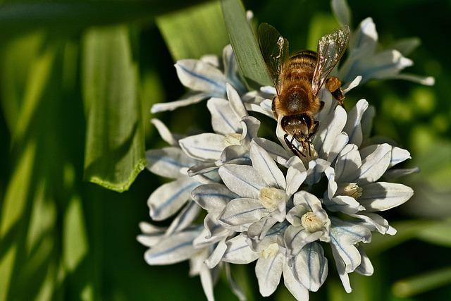 Honey Bee, Flowers, Striped Squill, Bee, Insect, Animal