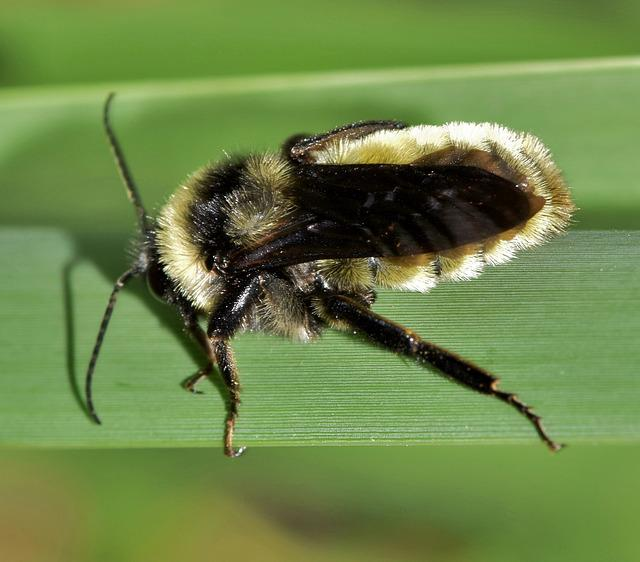 Bee, Bumblebee, Insect, Insectoid, Pollinate