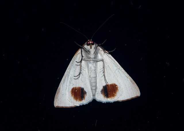 Moth, Large, Insect, White, Underside, Red Spots