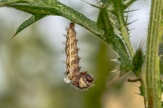Caterpillar, Butterfly, Nature, Larva, Insect, Hairy