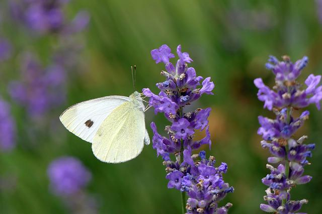 Gonepteryx Rhamni, Butterfly, Lavender, Insect, Nature