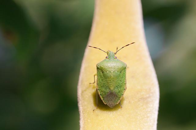 Bug, Leaf Bug, Green, Insect, Insecta, Animal, Macro
