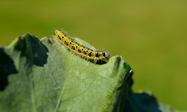 Caterpillar, Insect, Cabbage Leaf, Leaf, Nature