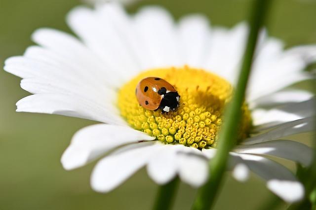 Ladybug, Beetle, Red, Insect, Macro, Lucky Charm