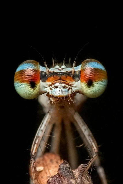Damselfly, Odonata, Insect, Macro, Nature, Wildlife