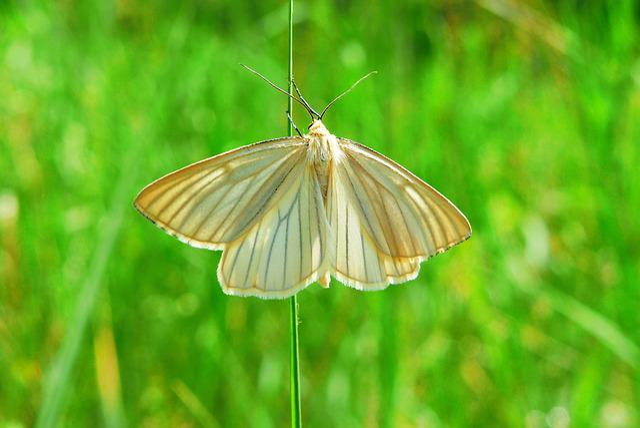 Diblik Liniaczek, Animals, Invertebrates, Mols, Insect