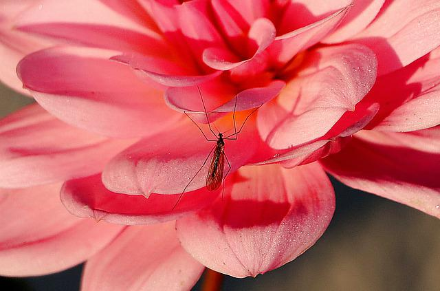 Dahlia, Insect, Close Up, Macro, Mosquito, Pink