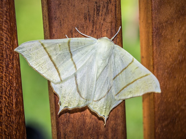 Moth, Nature, Insect, Wings