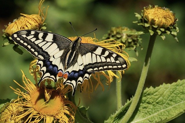 Dovetail, Butterfly, Nature, Insect, Wing, Animal World
