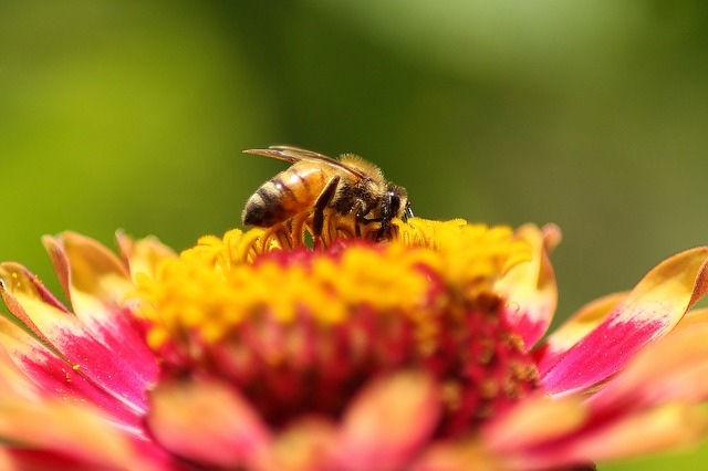 Bee, Flower, Zinnia, Nature, Yellow, Pollen, Insect