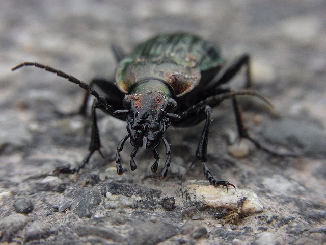 Animal, Insect, Beetle, Ground Beetles, Nature, Macro
