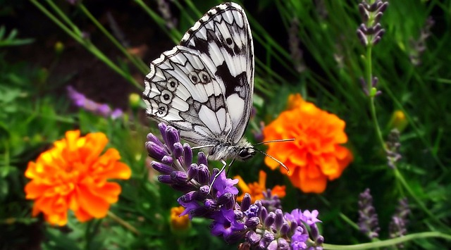 Nature, Flower, Insect, Butterfly Day, Plant, Lavender