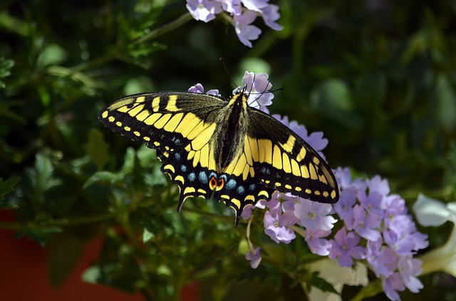 Butterfly, Swallowtail, Wings, Nature, Insect, Flower