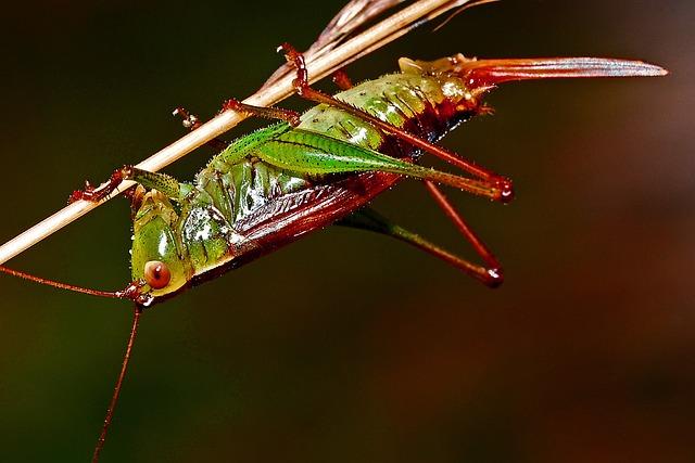 Grasshopper, Insect, Macro, Arthropod, Nature, Wildlife