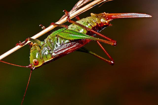 Grasshopper, Insect, Macro, Arthropod, Nature, Wildlife