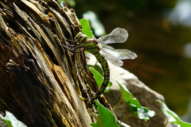 Dragonfly, Nature, Insect, Odonata
