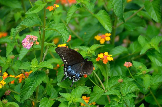 Swallowtail Butterfly, Garden, Insect, Nature