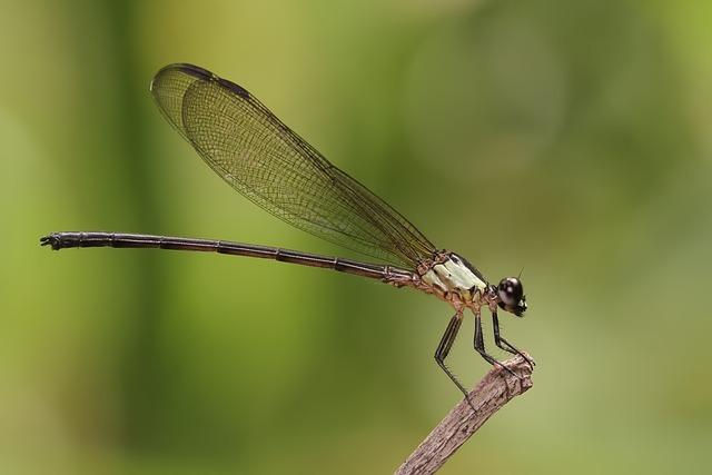 Damselfly, Odonata, Insect, Macro, Dragonfly, Fauna