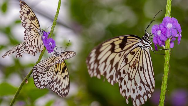 Butterflies, Insect, Nature, Wings, Wildlife, Pair
