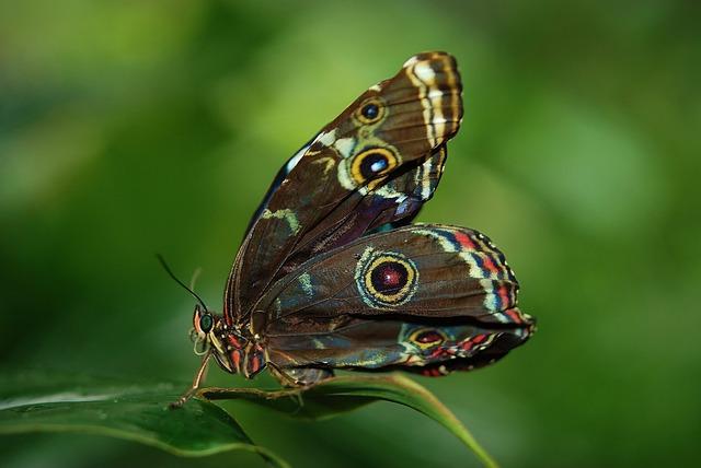 Morpho, Peleides, Butterfly, Butterflies, Insect