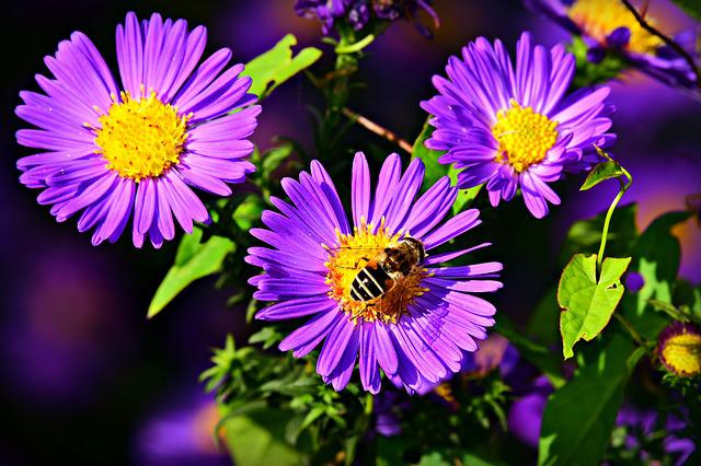 Aster, Autumn Flower, Bee, Insect, Pollination, Petal