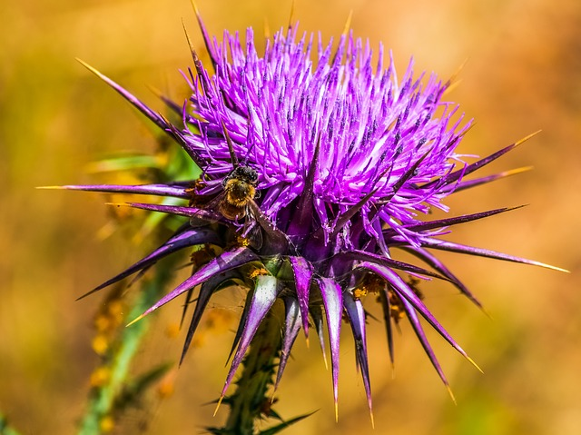 Nature, Prickly, Thistle, Flower, Spine, Insect, Purple