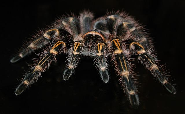 Tarantula, Spider, Insect, Grammostola, Pulchripes